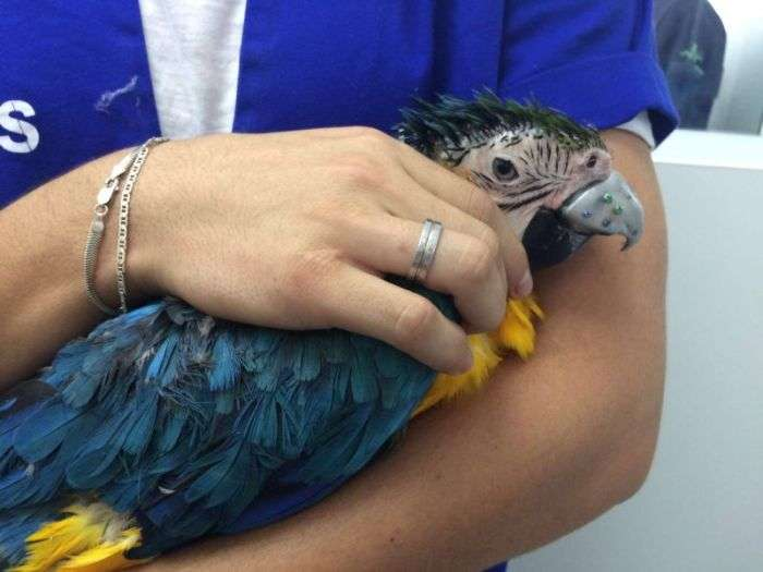 Бразильські ветеринари зробили новий дзьоб папуги (14 фото)
