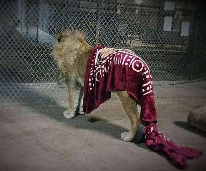 Лев, який не може заснути без ковдри (7 фото)