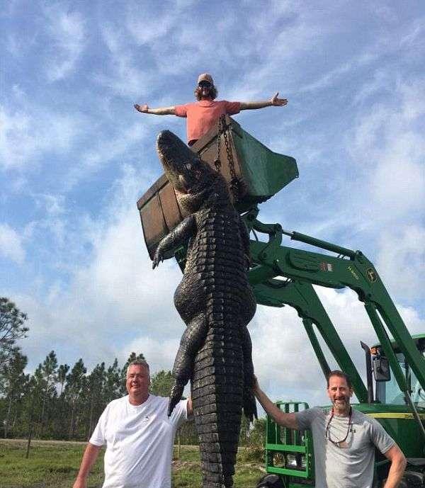 Американські фермери розправилися з алігатором, нападникам на їх худобу (4 фото)