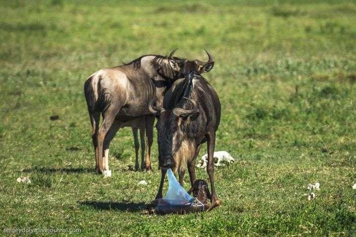 Поява на світ дитинчати антилопи Гну та його перші кроки (10 фото + відео)