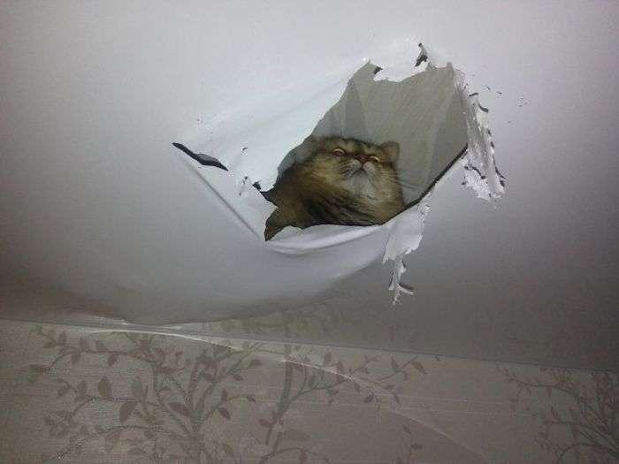 Кішка зробила собі «нору» в стелі (2 фото)