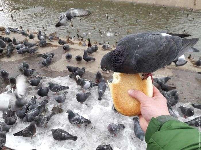 Нахабні голуби (4 фото)