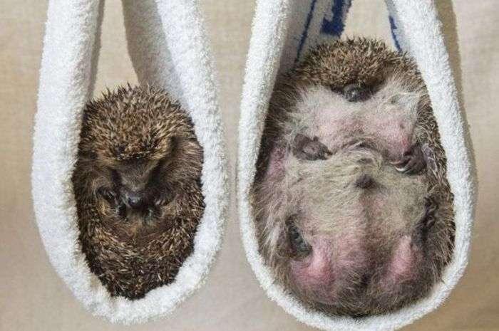 У Великобританії товсту ежиху, не здатну згорнутися в клубок, посадили на дієту (3 фото)