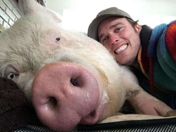 Міні-порося виріс у величезну свиню (20 фото)