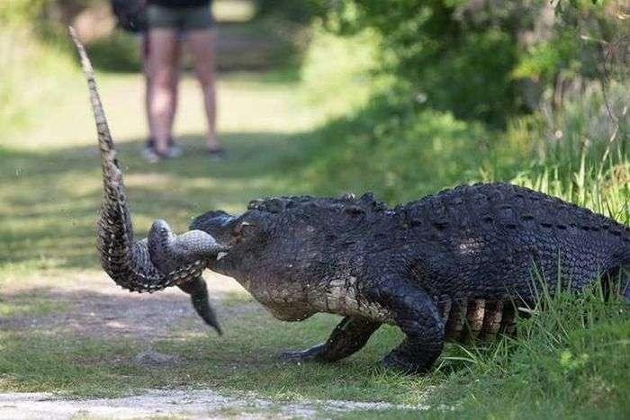 Звичайне явище в світі крокодилів (5 фото)