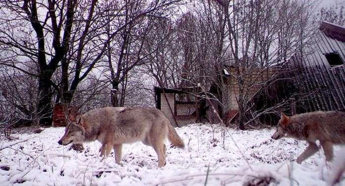 Тваринний світ зони відчуження Чорнобильської АЕС (15 фото)
