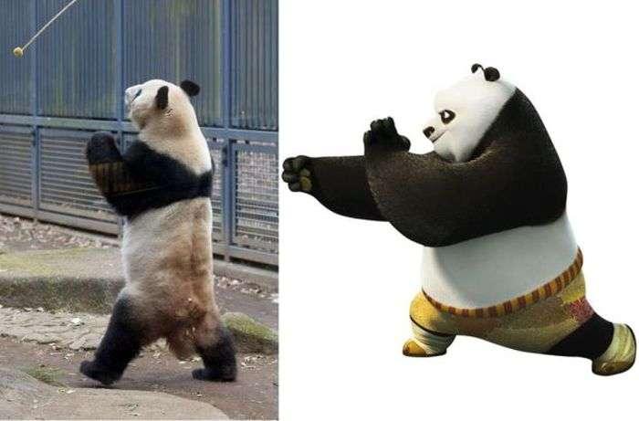 В Японії знайдено панда, освоїла прийоми кунг-фу (3 фото)