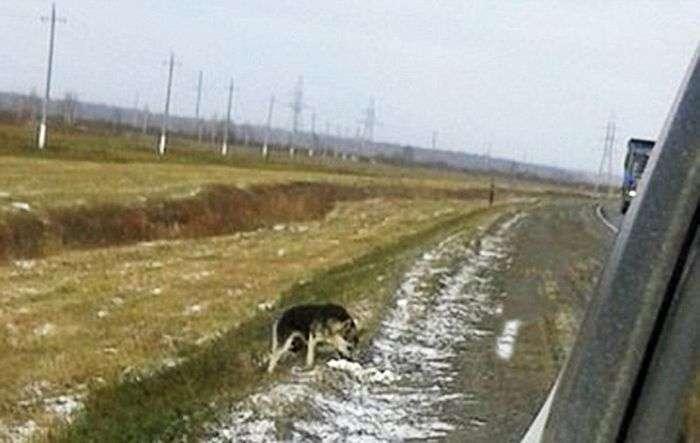 У Сибіру ось уже 1,5 року пес чекає на повернення загиблого господаря (3 фото)