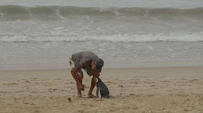 Пінгвін щорічно проходить понад 8000 км, щоб зустрітися зі своїм спасителем (5 фото)