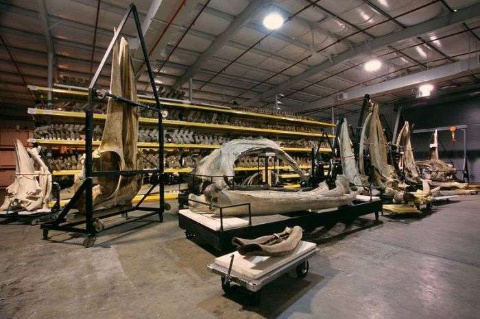 Сховище Національного музею природної історії у Вашингтоні (12 фото)