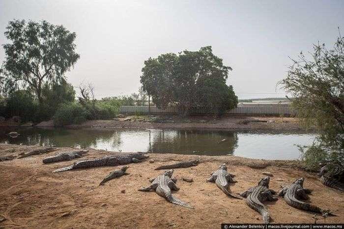 Покинутий крокодилячий розплідник в Ізраїлі (20 фото)