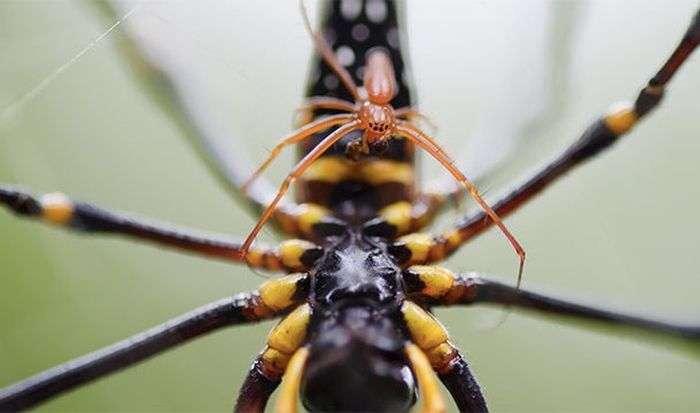 Цікаві факти про павуків (25 фото)