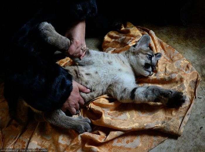 В далекосхідному зоопарку зявився дитинча пуми (22 фото)