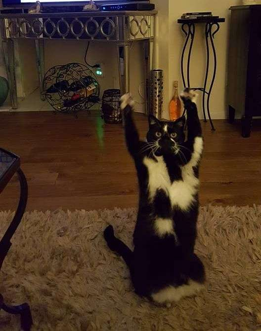 Кіт піднімає вгору лапи кожен раз, коли його фотографують (5 фото + відео)