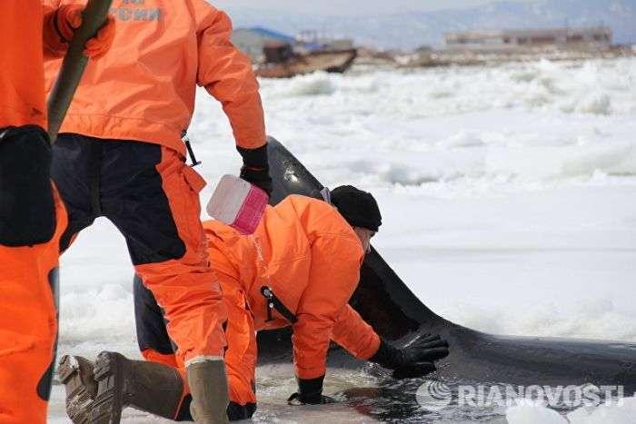 На Сахаліні в Охотському морі врятували затиснуту в льодах косатку (5 фото + відео)