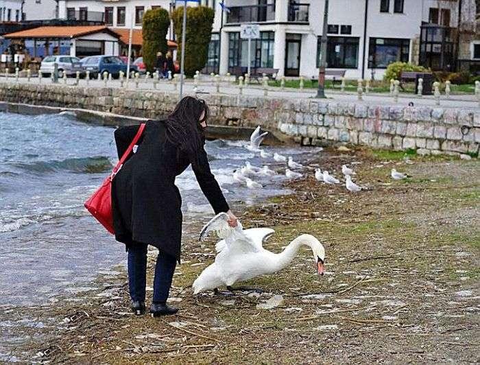 У Македонії туристка смерть замучила лебедя заради фотосесії (3 фото)