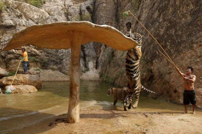 Тигровий храм в Таїланді (8 фото)