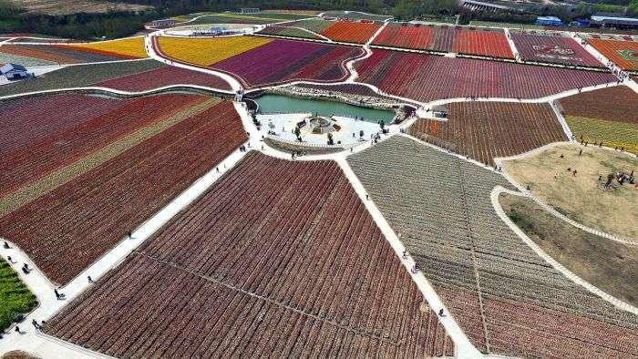 У Китаї розквітли тюльпани (16 фото)