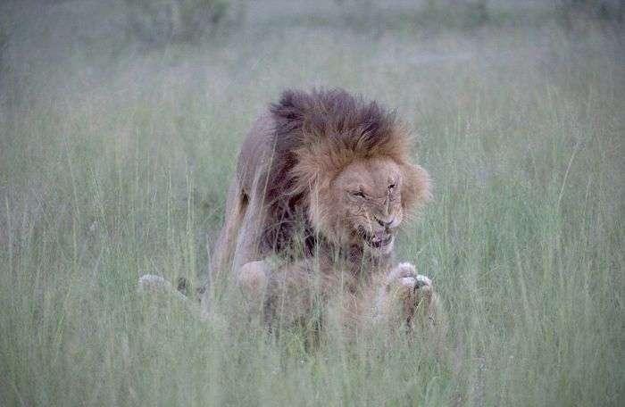 У Ботсвані знайдена пара львів-гомосексуалів (6 фото)