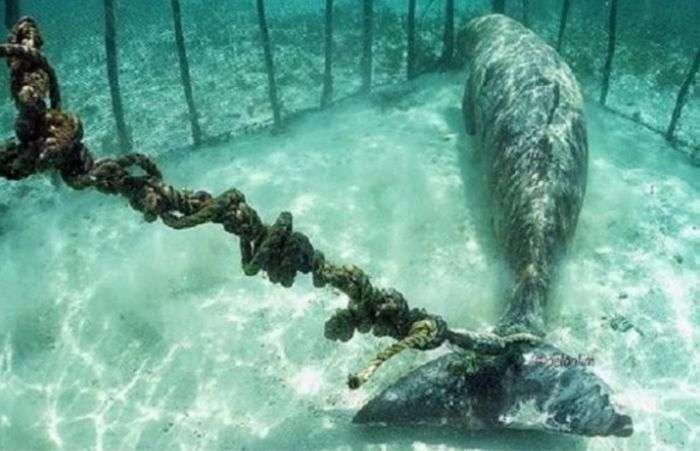 В Індонезії виявили двох ламантин, незаконно удерживавшихся в клітинах під водою (3 фото + відео)