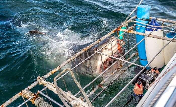 Круті фото гігантської білої акули (4 фото)