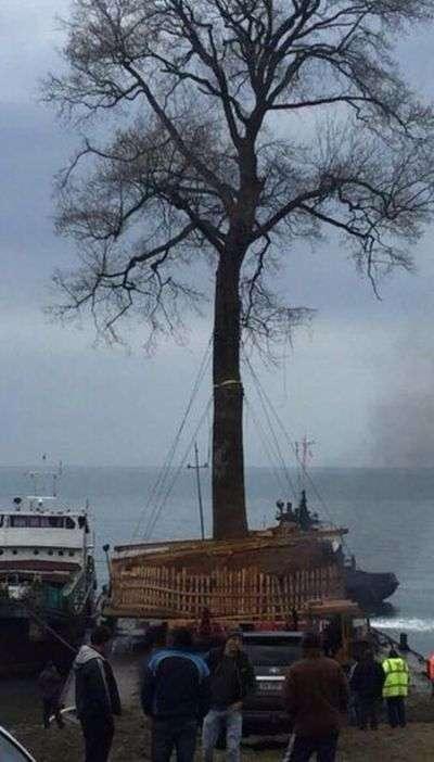 Транспортування вікового дерева в Грузії (3 фото)