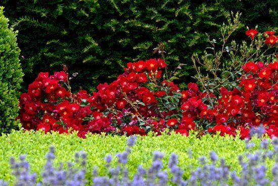 10 ПОПУЛЯРНЫХ СОРТОВ ПОЧВОПОКРОВНЫХ РОЗ дача,дизайн,дом,инструмент,ландшафтный дизайн,полезные советы,растения,сад