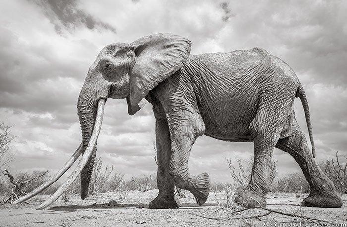 Последние фото легендарной «Королевы слонов» перед ее смертью интересное