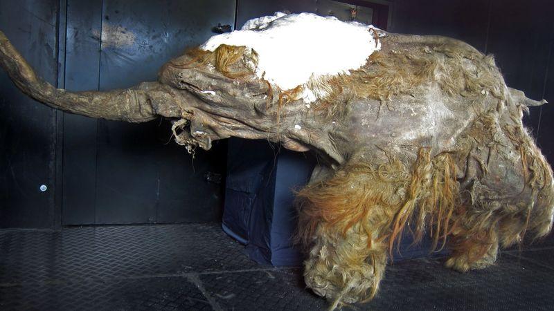Учёные «разбудили» ядра клеток древнего мамонта Животные