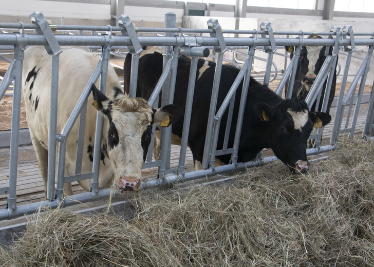 Новый молочный комплекс в Курской области на 6000 голов начал вводиться в эксплуатацию Новости