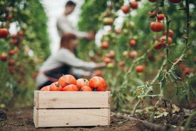 Трудный путь томатов к обеденному столу Интересное