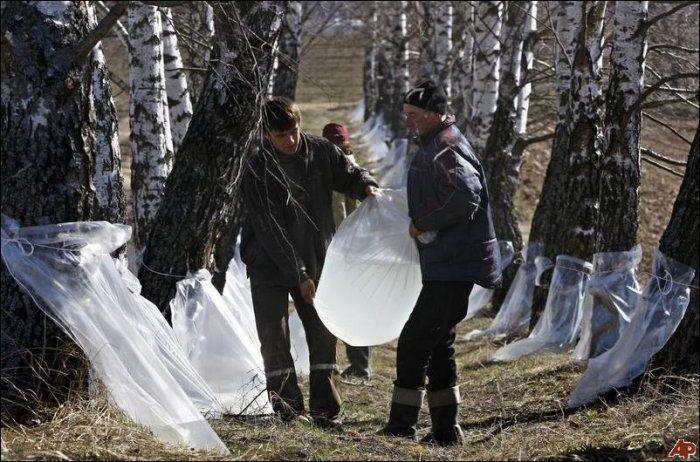 Сборы березового сока в Беларусии