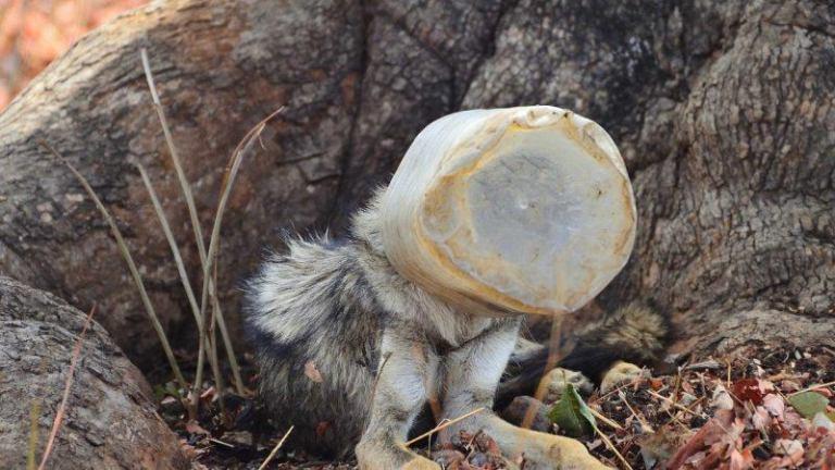 Дикий волк с банкой на голове пришел к людям. Он нуждался в помощи! волки