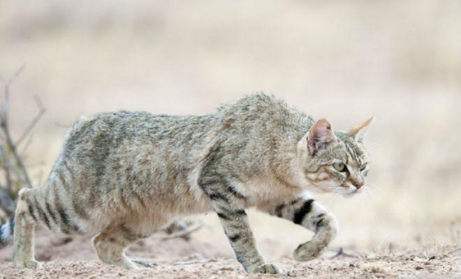 Как выглядели кошки 10 тысяч лет назад дикие коты