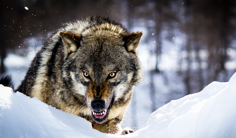 Что делать, если на вас напала стая волков атака