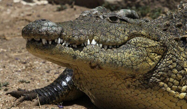 Як крокодили в 1945 перемогли японців на острові Рамри
